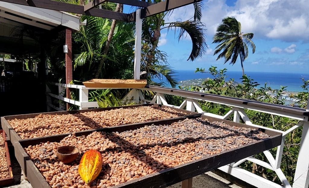 Cocoa beans at Howelton Estate, St. Lucia - the picture of cocoa beans